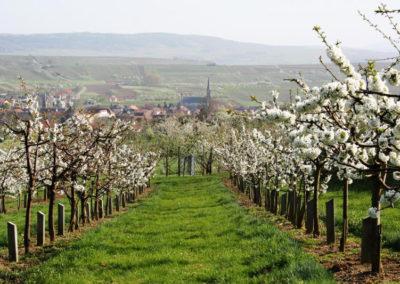 Westhoffen - Floraison des cerises